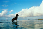 The Dogs of Rarotonga